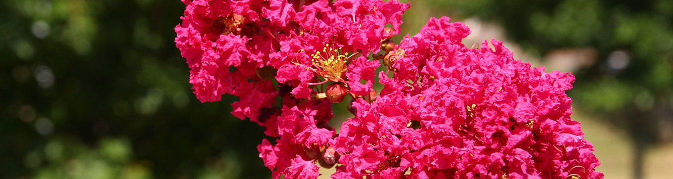 Crepe myrtle (Lagerstroemia indica) blossom