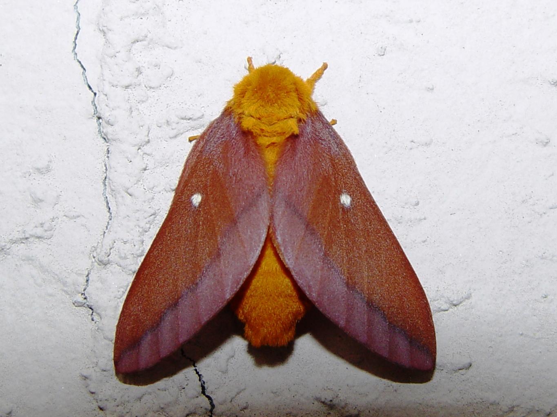 Oakworm_moth