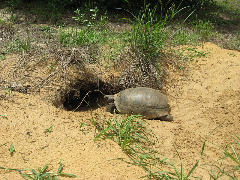 Gopher Tortoise Entering Its Burrow In Fort Pierce Fl From Wikimedia Commons