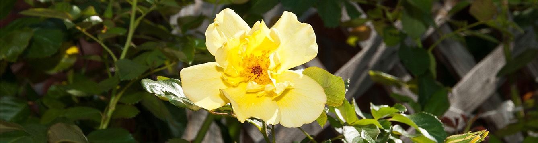 Lemon Meringue Rose