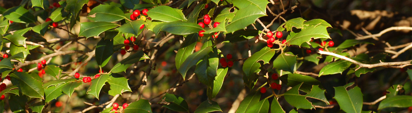 American Holly