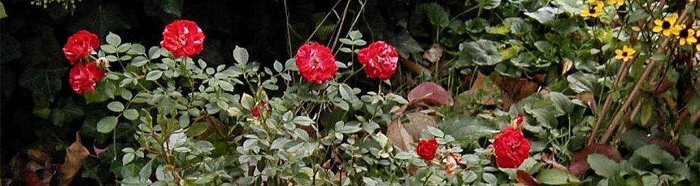 Beauty Secret Rose