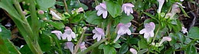 Calamintha georgiana