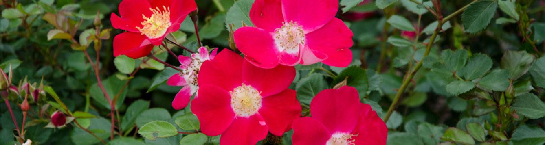 Cherry Pie Rose
