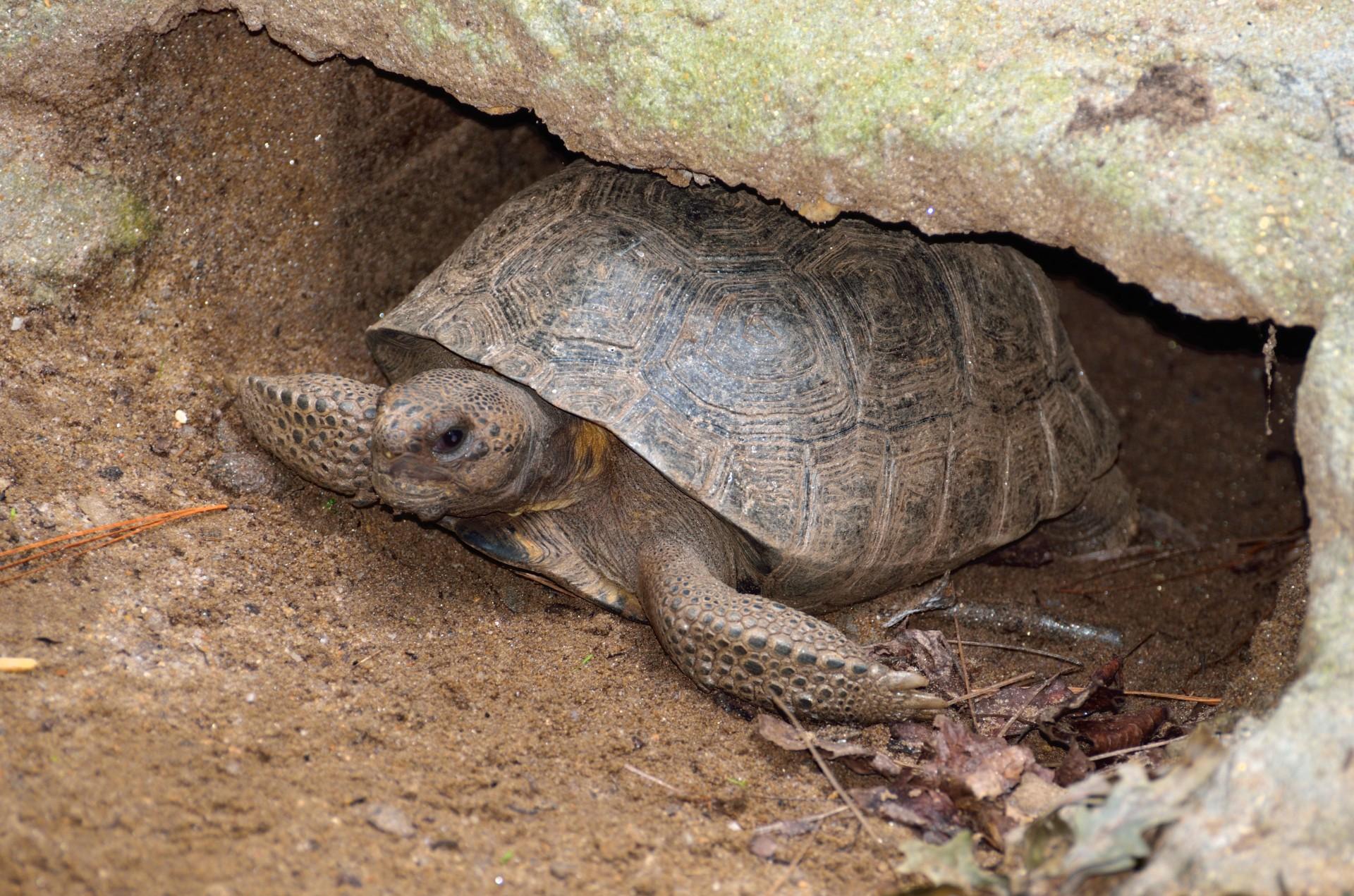 gopher-tortoise