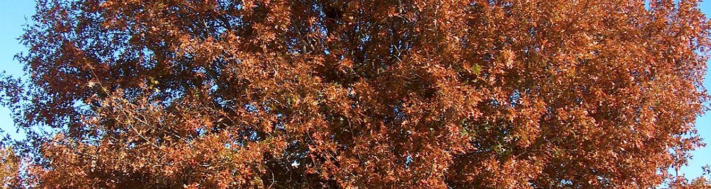 Nuttall Oak