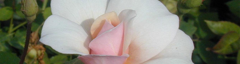Perle d'Or Rose