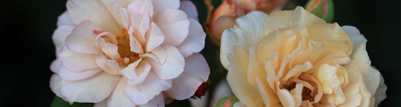 Reve d'Or Rose