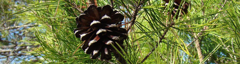 Sand pine
