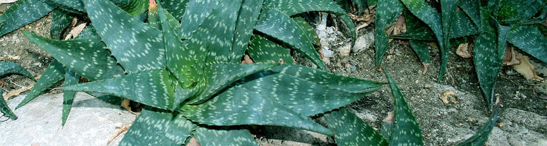 Soap Aloe