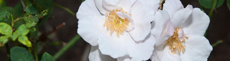 Souvinir de St Anne's Rose