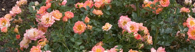 Strawberry Crush Rose