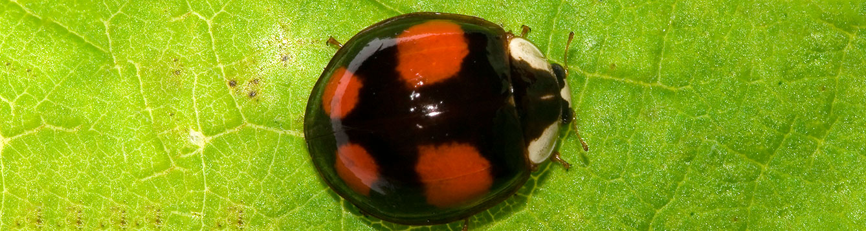 Harmonia axyridis Pallas