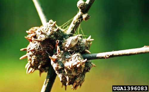Oak_gall_callirhytis_wasps_UGA