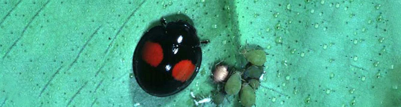 twice stabbed lady beetle