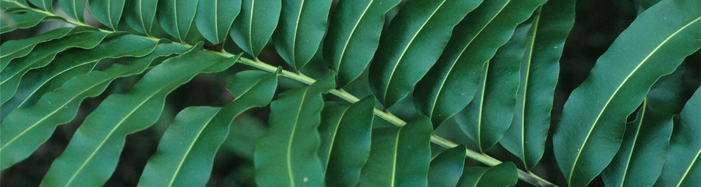 leather fern