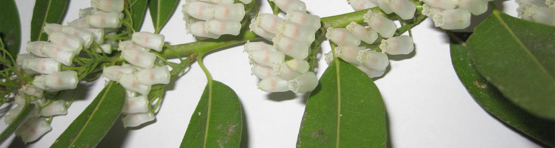 Agarosta populifolia dwarf