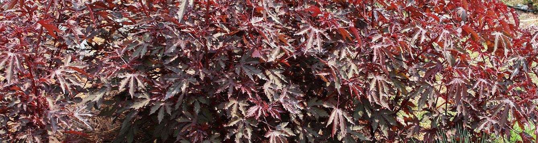 red-leaf hibiscus