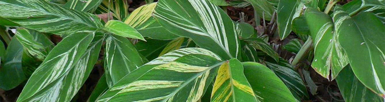 5 Alpinia zerumbet 'Variegata'