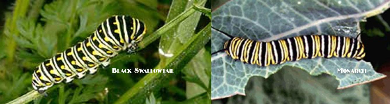 Black Swallowtail vs Monarch Caterpillar