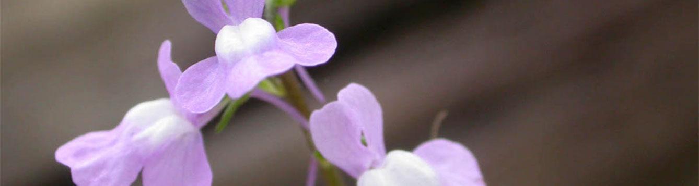 Linaria canadensis