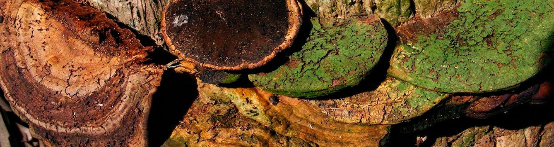 Ganoderma zonatum