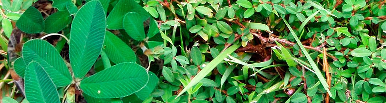 Japanese clover, Lespedeza striata