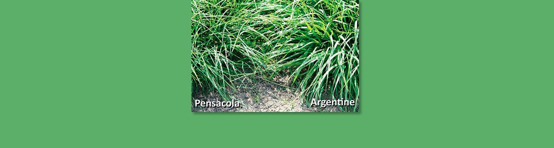 Pensacola vs Argentine bahia grass