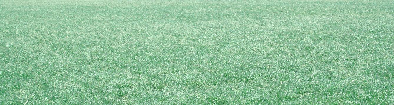 bahiagrass
