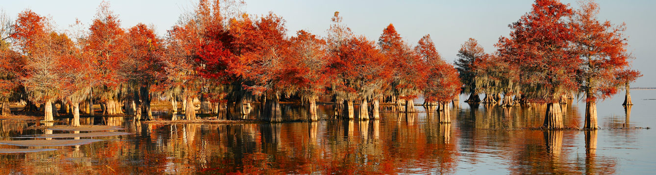 Bald Cypress forest in autumn color
