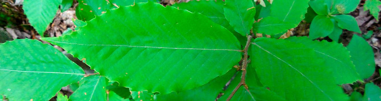 American Beech, Fagus grandifolia
