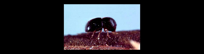 black twig borers, Xylosandrus compactus