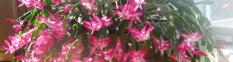 Christmas cactus, Schlumbergera bridgesii