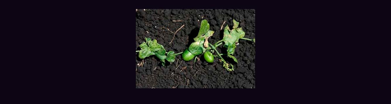 creeping cucumber, Melothria pentula