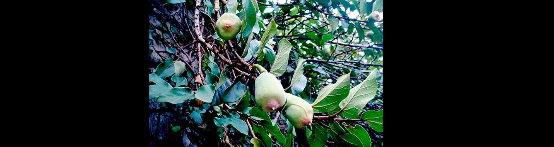 creeping fig, Ficus pumila