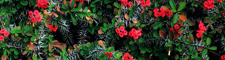 Crown-of-Thorns, Euphorbia milii