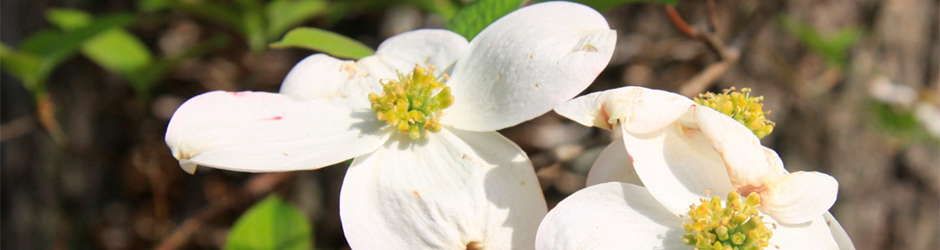 Florida Dogwood, Cornus florida
