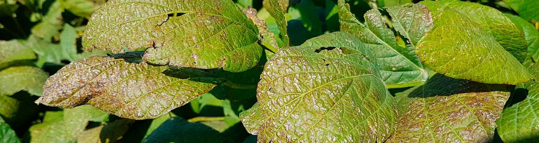 Cercospora hydrangeae