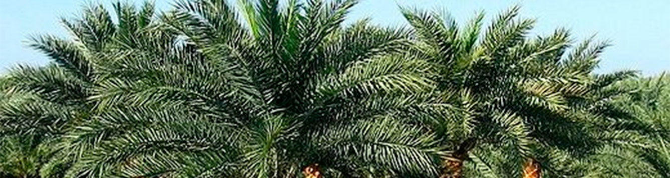 Indian Date Palm