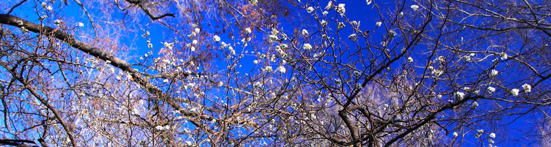 wild mayhaw blooming