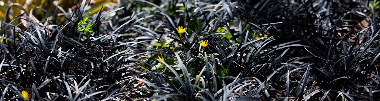 Black mondo grass and yellow Ranunculus flowers