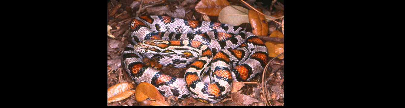 red rat or corn snake