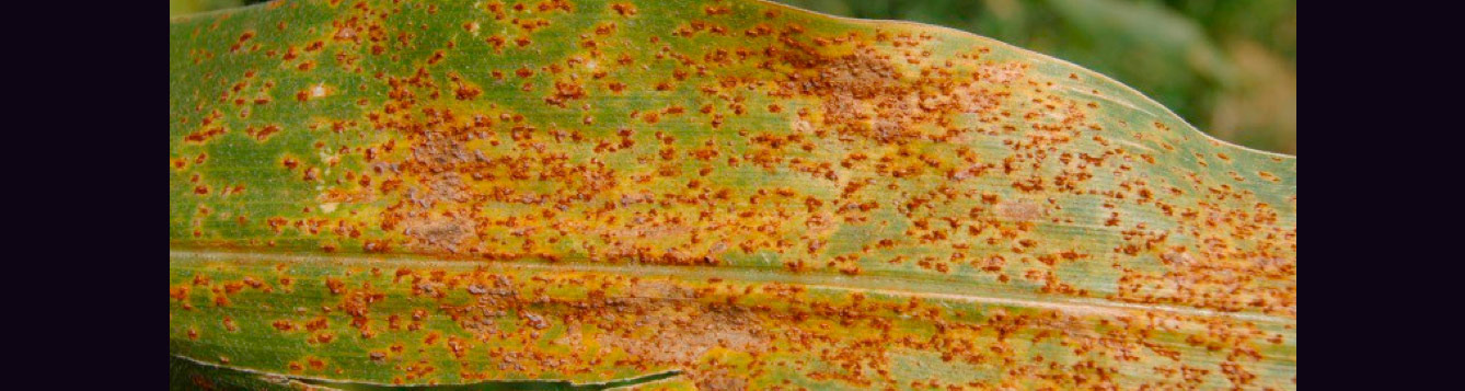 Common rust Puccinia sorghi of corn