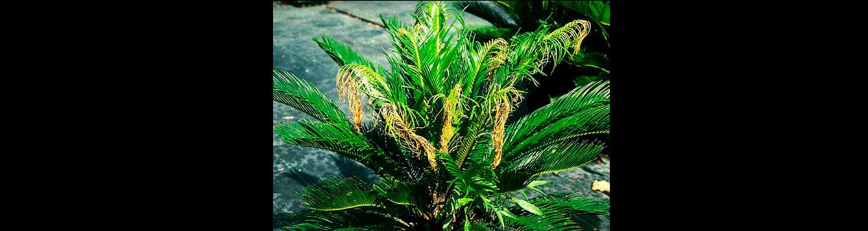 Manganese Deficiency in Sago Palm (Cycas revoluta)