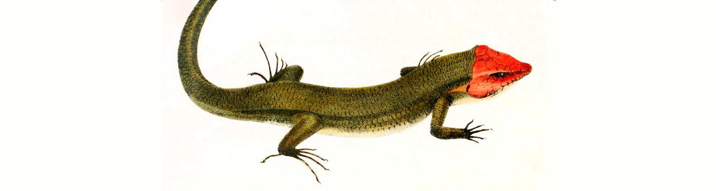 Broad-headed skinks, Eumeces laticeps