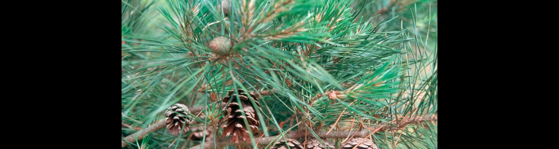 Pinus glabra, Spruce Pine