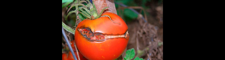 crack in tomato