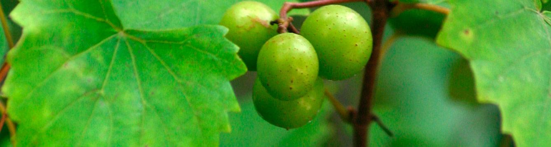 Wild Muscadine Grape, Vitis rotundifolia.