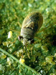 Bigeyed bugs