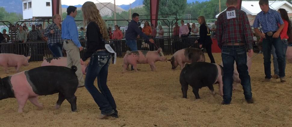swine_show